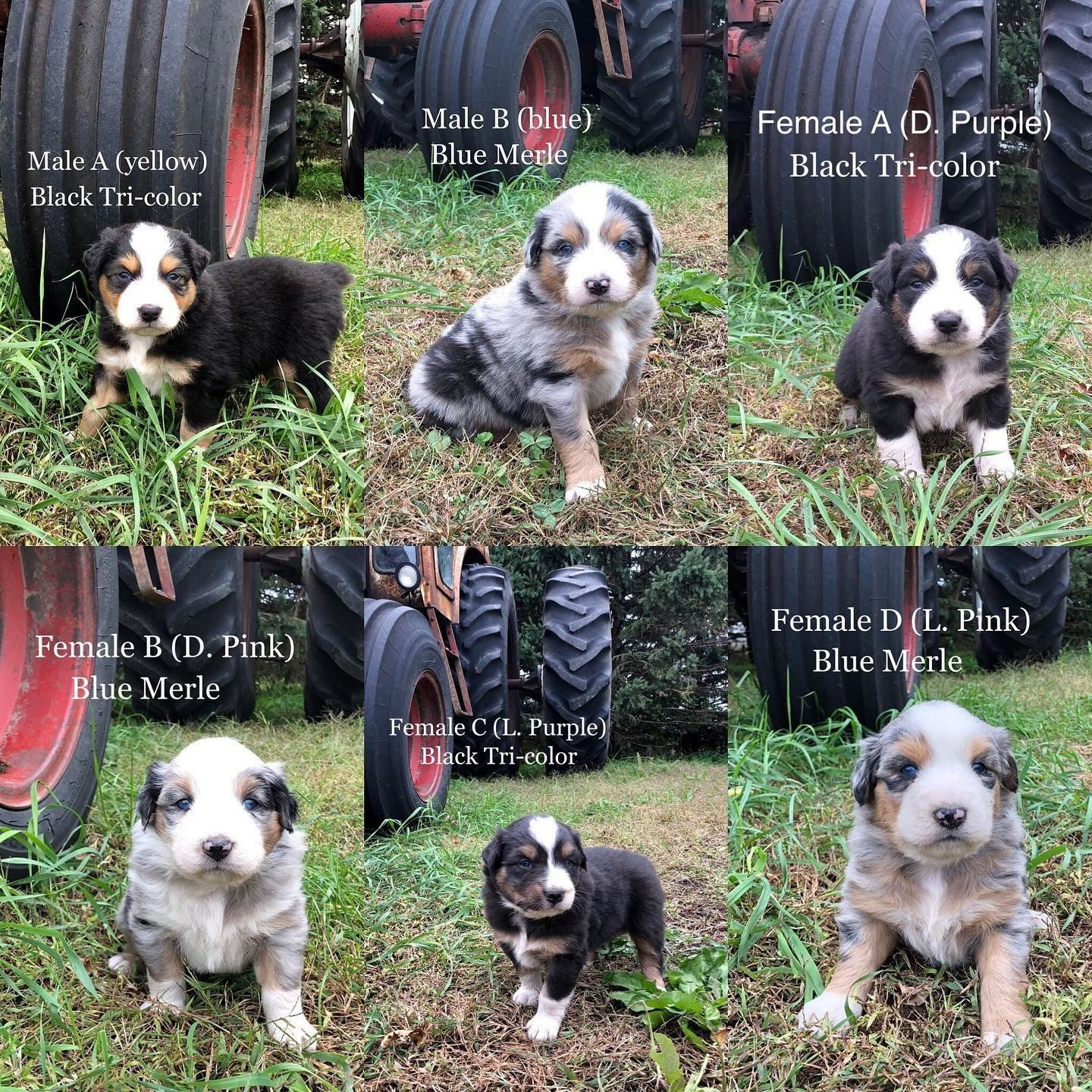 Australian Shepherd Puppies For Sale Granada Mn 310157