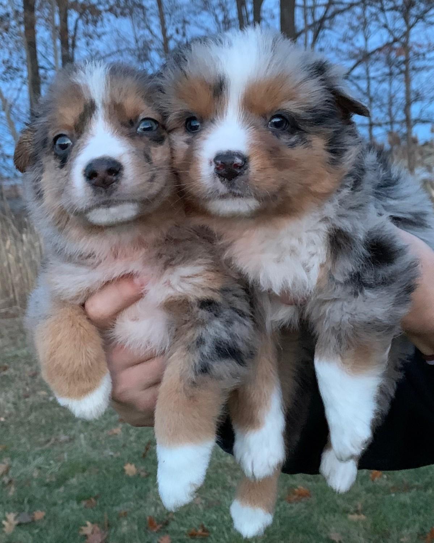 Australian Shepherd Puppies For Sale | Chesterfield, MI ...