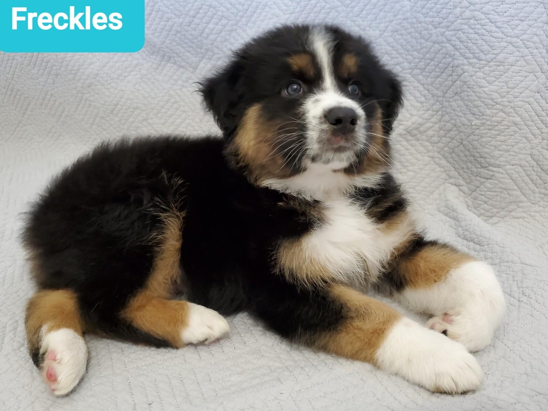Australian Shepherd Puppies For Sale | Aiken, SC #325612