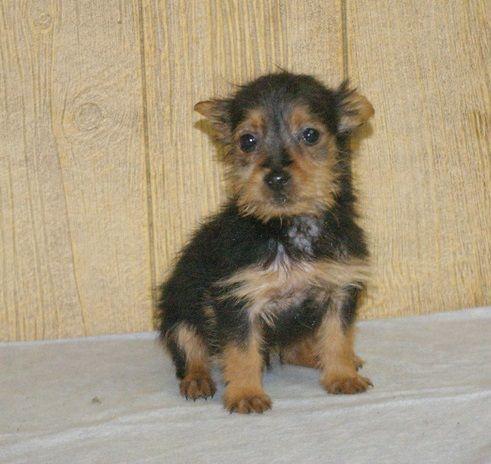 Australian Terrier Puppies For Sale Seattle Wa 177685