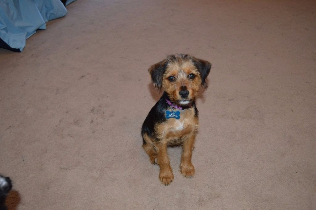 Australian Terrier Puppies For Sale New York Ny 235567