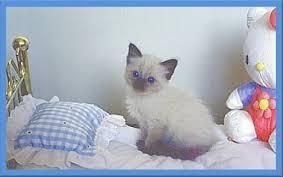 Balinese Cats For Sale Indianapolis In 118274