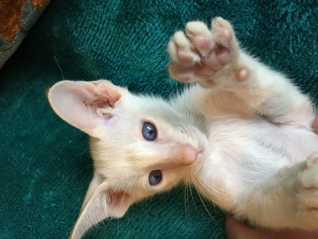Balinese Cats For Sale New York Ny 198247 Petzlover