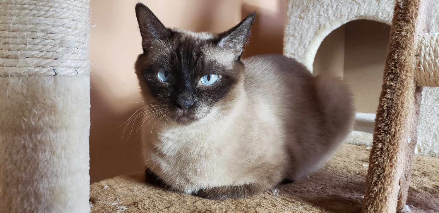 Balinese Cats For Sale Brooklyn Ny 301160 Petzlover