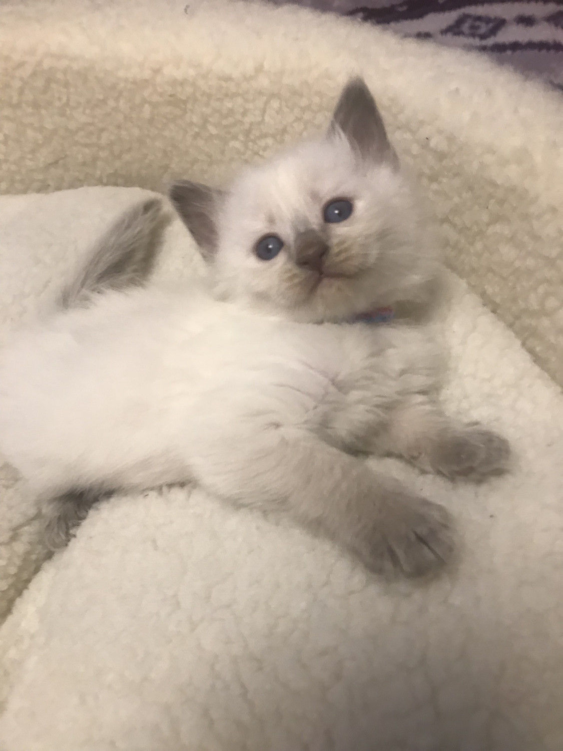Balinese Cats For Sale Ponchatoula La 304368 Petzlover