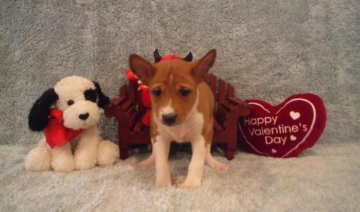Basenji Puppies For Sale Pittsburgh Pa 102556