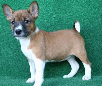 Basenji Puppies For Sale | Rochester, MN #156972 | Petzlover