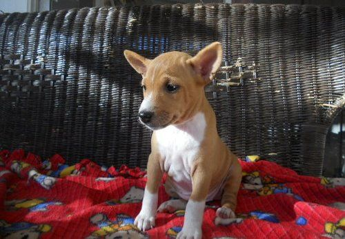 Basenji Puppies For Sale Los Angeles Ca 228228