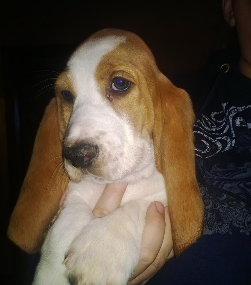 Basset Hound Puppies For Sale Flint Mi 68631 Petzlover