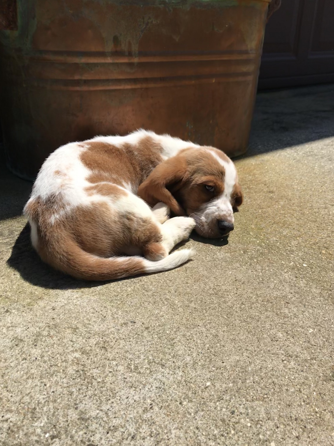 Basset Hound Puppies For Sale Anderson Sc 275789