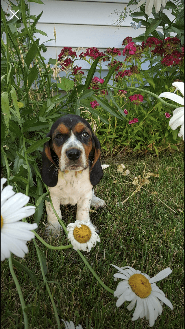 Basset Hound Puppies For Sale Buckley Mi 280290