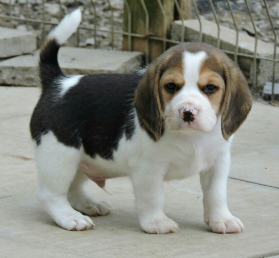 Beagle Puppies For Sale Rochester Mn 86433 Petzlover
