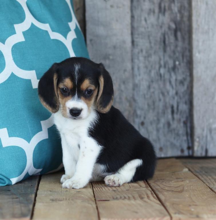 Beagle Puppies For Sale Detroit Mi 115832 Petzlover