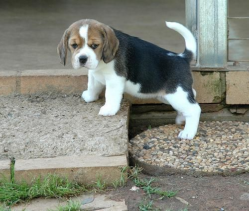 Beagle Puppies For Sale | Terre Haute, IN #128878
