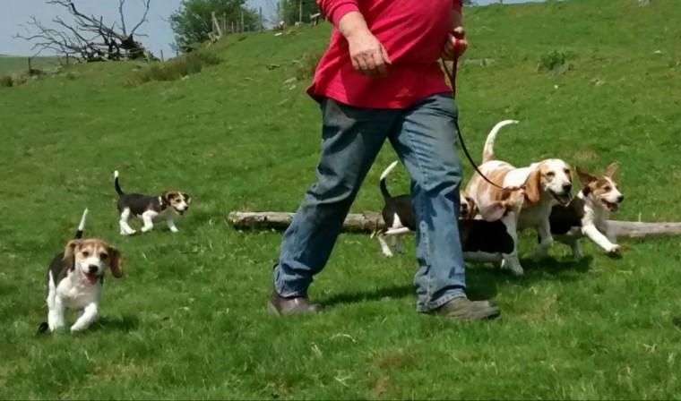 Beagle Puppies For Sale | Akron, CO #146496 | Petzlover