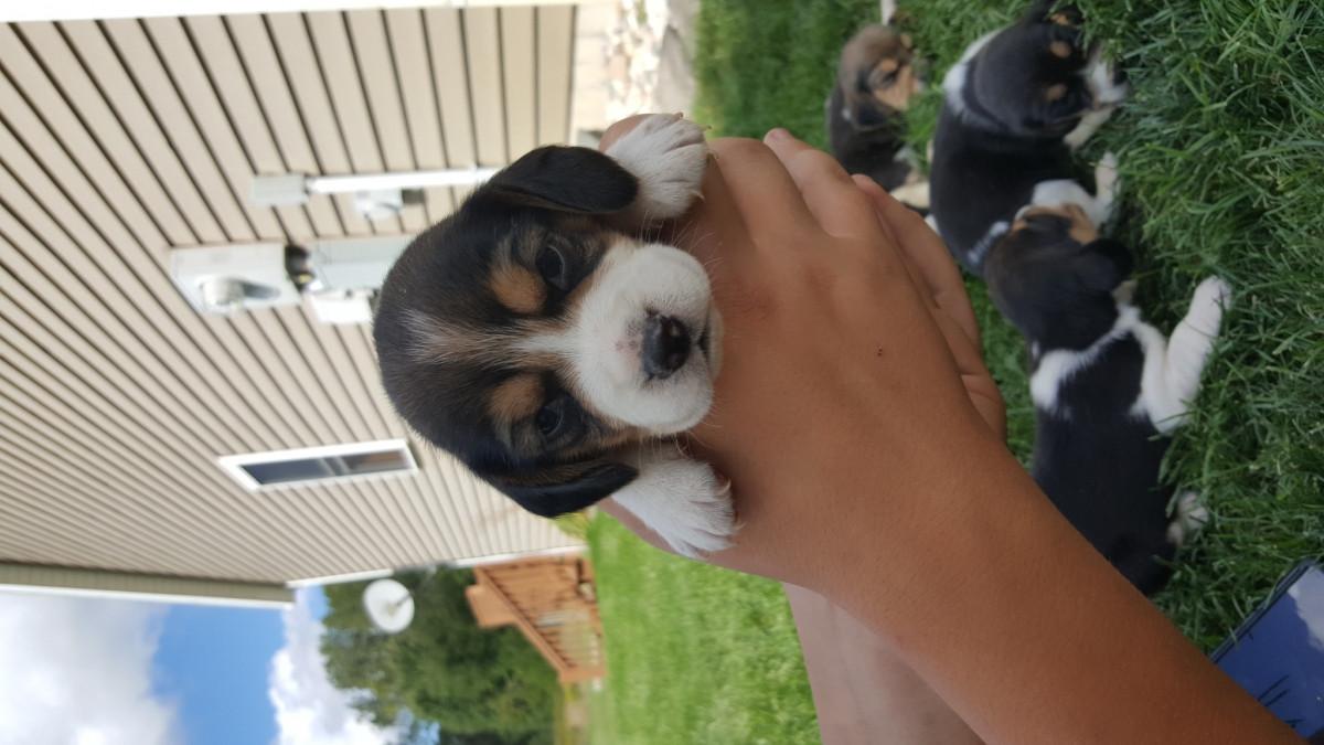 Beagle Puppies For Sale Sparta Mi 162731 Petzlover
