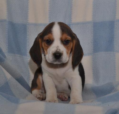 Beagle Puppies For Sale California Street Ca 181410