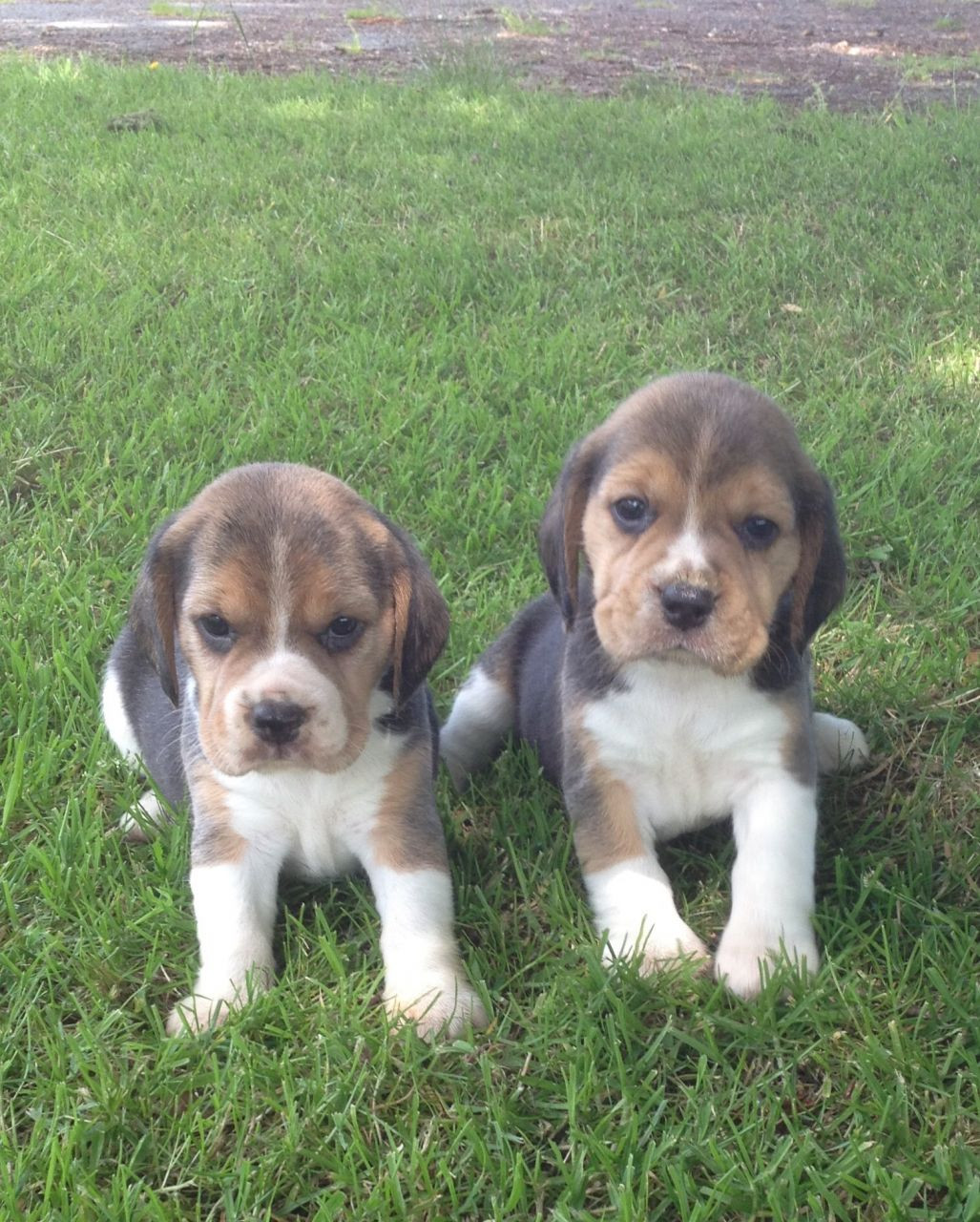Beagles For Sale In Los Angeles