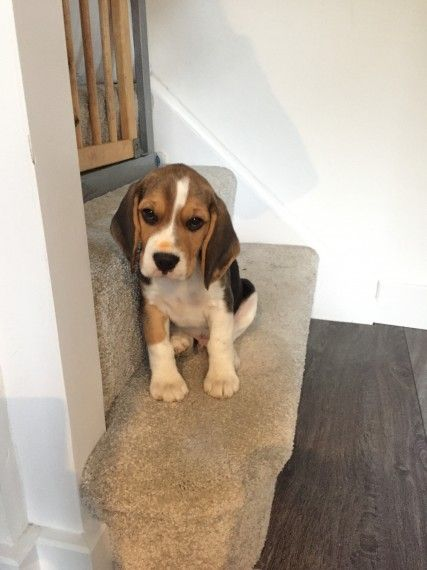 Beagle Puppies For Sale Erie Pa 206861 Petzlover