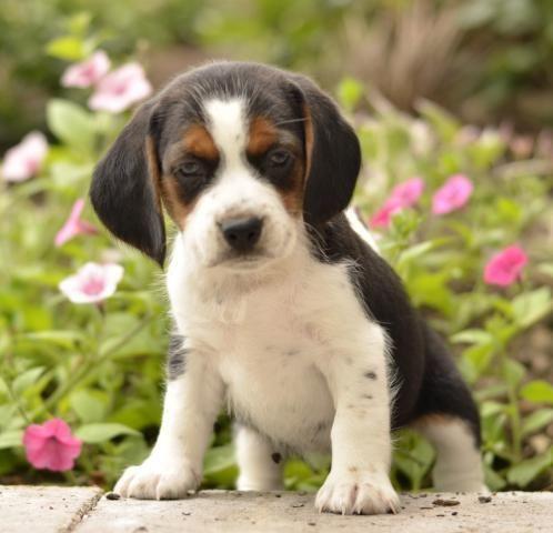 Beagle Puppies For Sale California Street Ca 220007