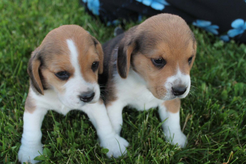 Beagle Puppies For Sale Clare Mi 220495 Petzlover