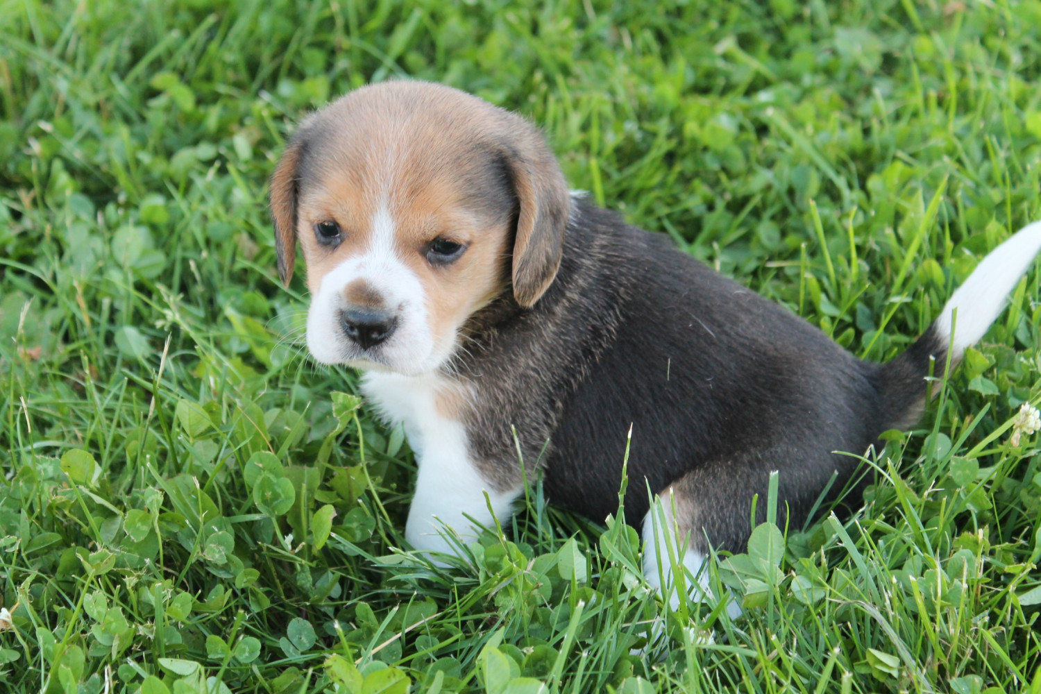 Beagle Puppies For Sale In Northern Territory Australia