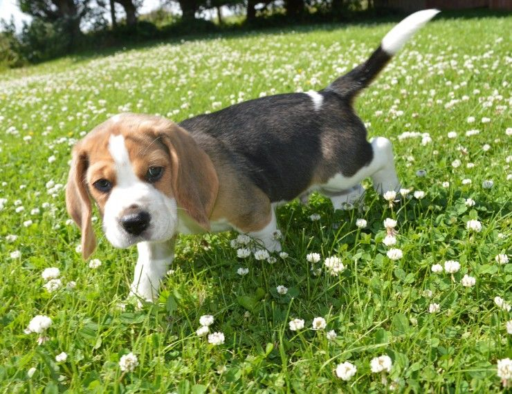 Beagle Puppies For Las Vegas Nv