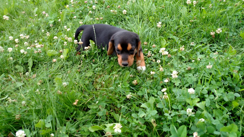 Beagle Puppies For Sale Clare Mi 227797 Petzlover