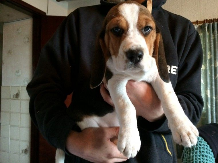 Beagle Puppies For Sale California Street Ca 237090