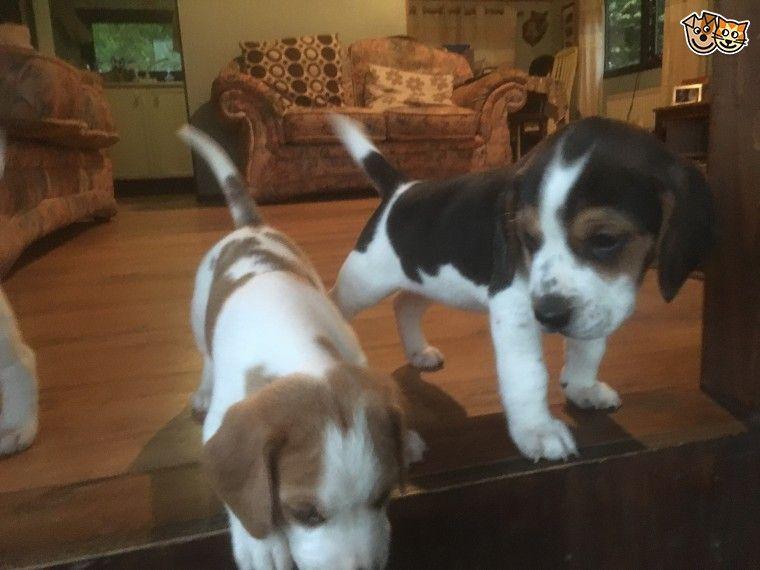 Beagle Puppies For Sale Florida Boulevard La 261968