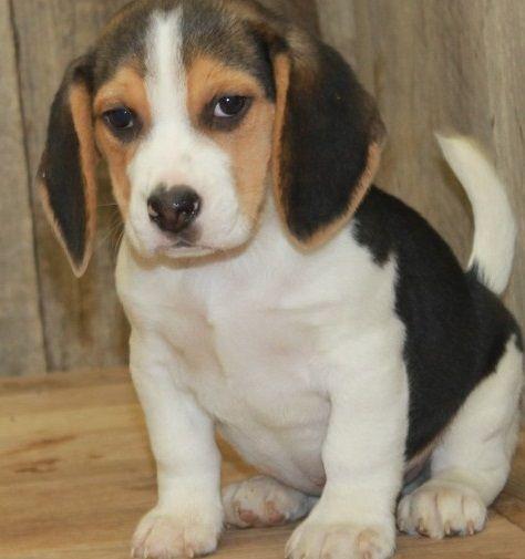 Beagle Puppies For Sale Saginaw Mi 286064 Petzlover