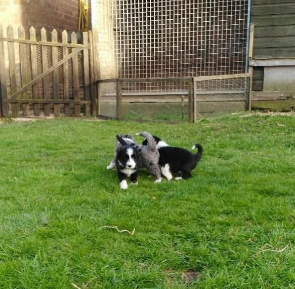 Bearded Collie Puppies For Sale Columbus Oh 133207