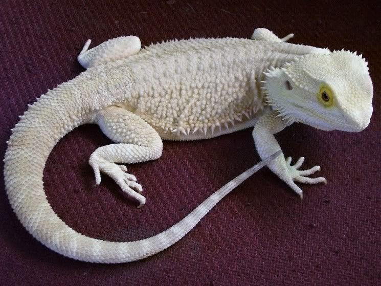 bearded lizard for sale