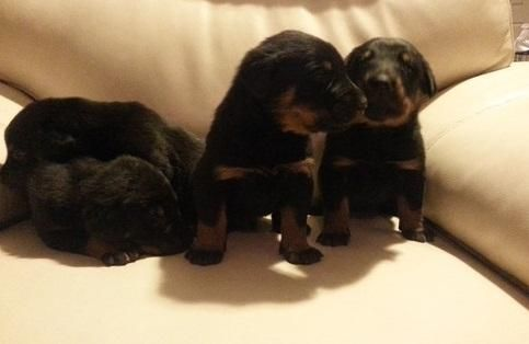Beauceron Puppies For Sale Dallas Tx 121266 Petzlover