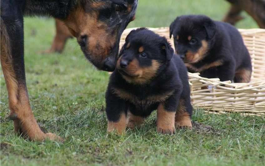 Beauceron Puppies For Sale Seattle Wa 176076 Petzlover