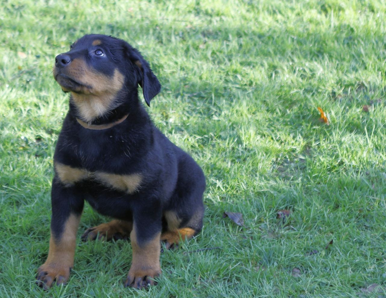 Beauceron Puppies For Sale Alexandria Oh 177432