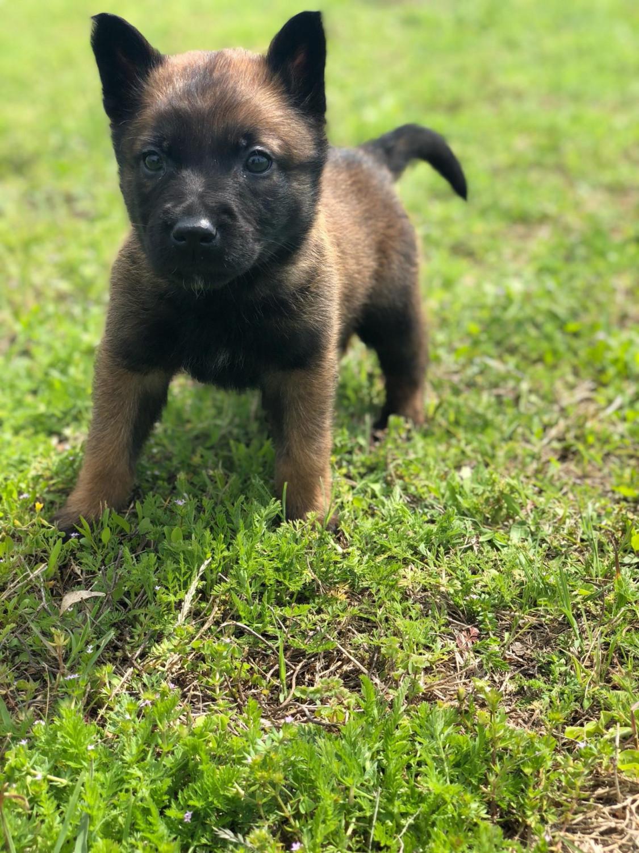 Belgian Shepherd Dog (Malinois) Puppies For Sale   Quinlan ...