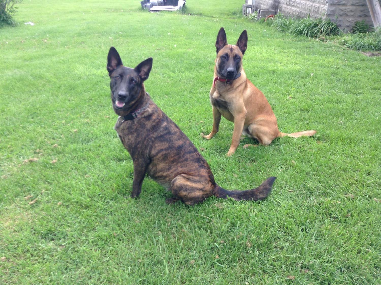 Belgian Shepherd Dog (Malinois) Puppies For Sale ...