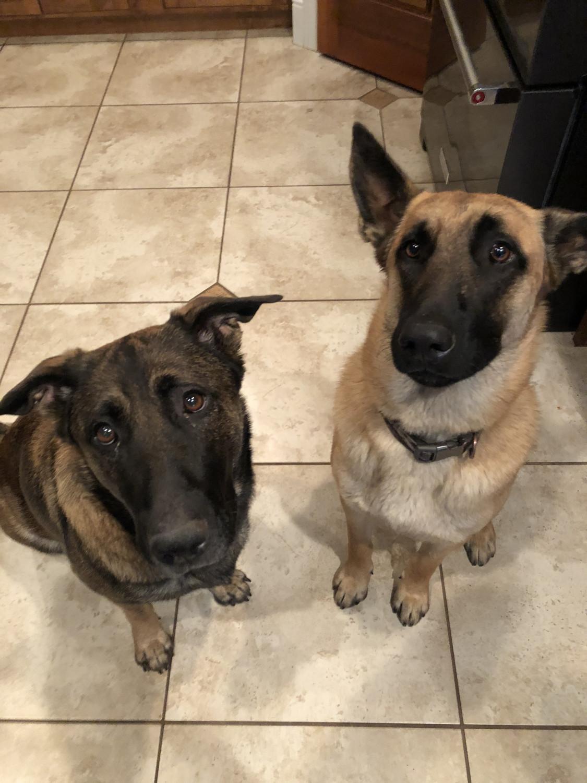 Belgian Shepherd Dog (Malinois) Puppies For Sale | Scotland UK