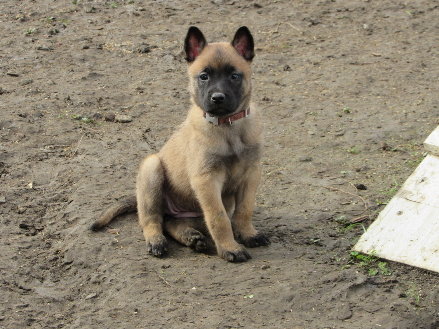 Belgian Shepherd Dog Malinois Puppies For Sale Vallejo Ca 287818