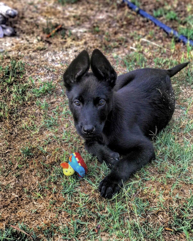 Black Malinois Puppy Goldenacresdogs