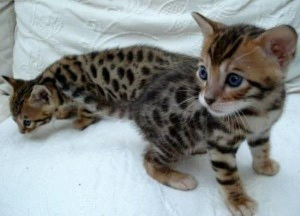f1 bengal kittens for sale in michigan