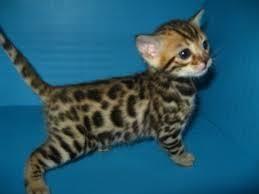 Bengal Cats For Sale   Las Vegas, NV #82947   Petzlover