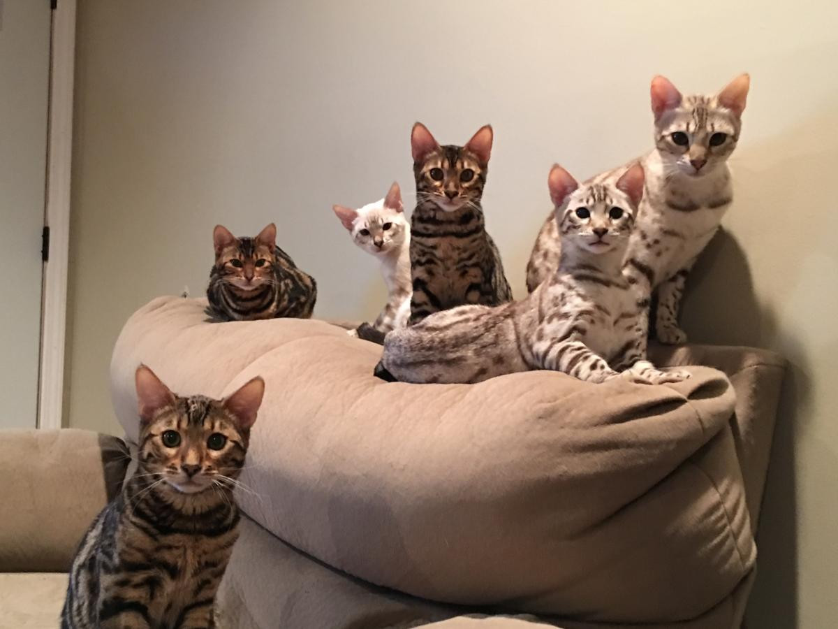 Bengal Cats For Sale | Clarksville, TN #106482 | Petzlover