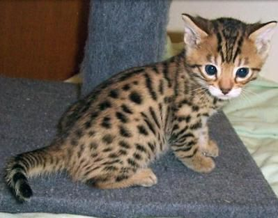 Bengal Cats For Sale Sioux Falls Sd 139455 Petzlover