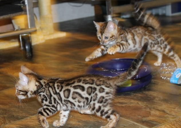 Bengal Cats For Sale Sioux Falls Sd 141080 Petzlover