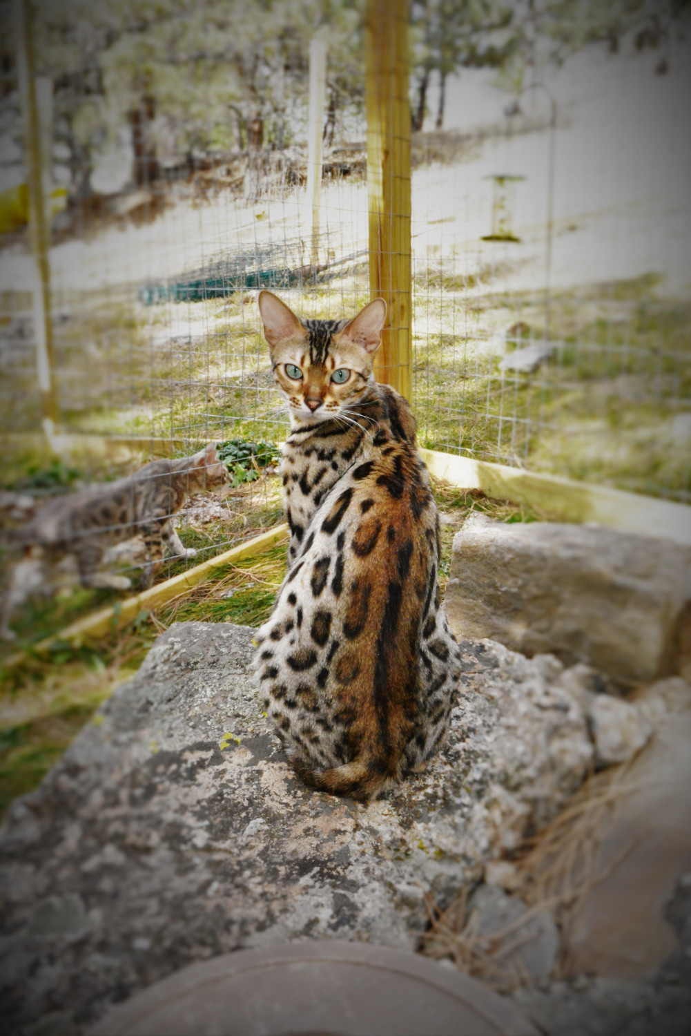 Bengal Cats For Sale Custer Sd 180722 Petzlover