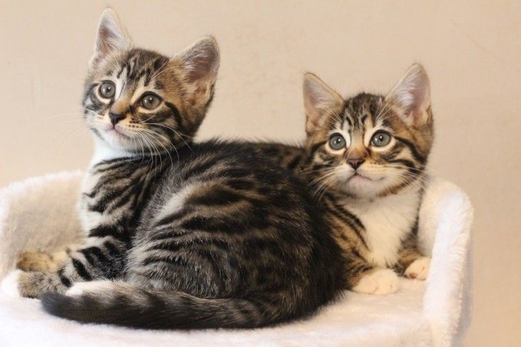 Bengal Cats For Sale | Springfield, IL #198273 | Petzlover