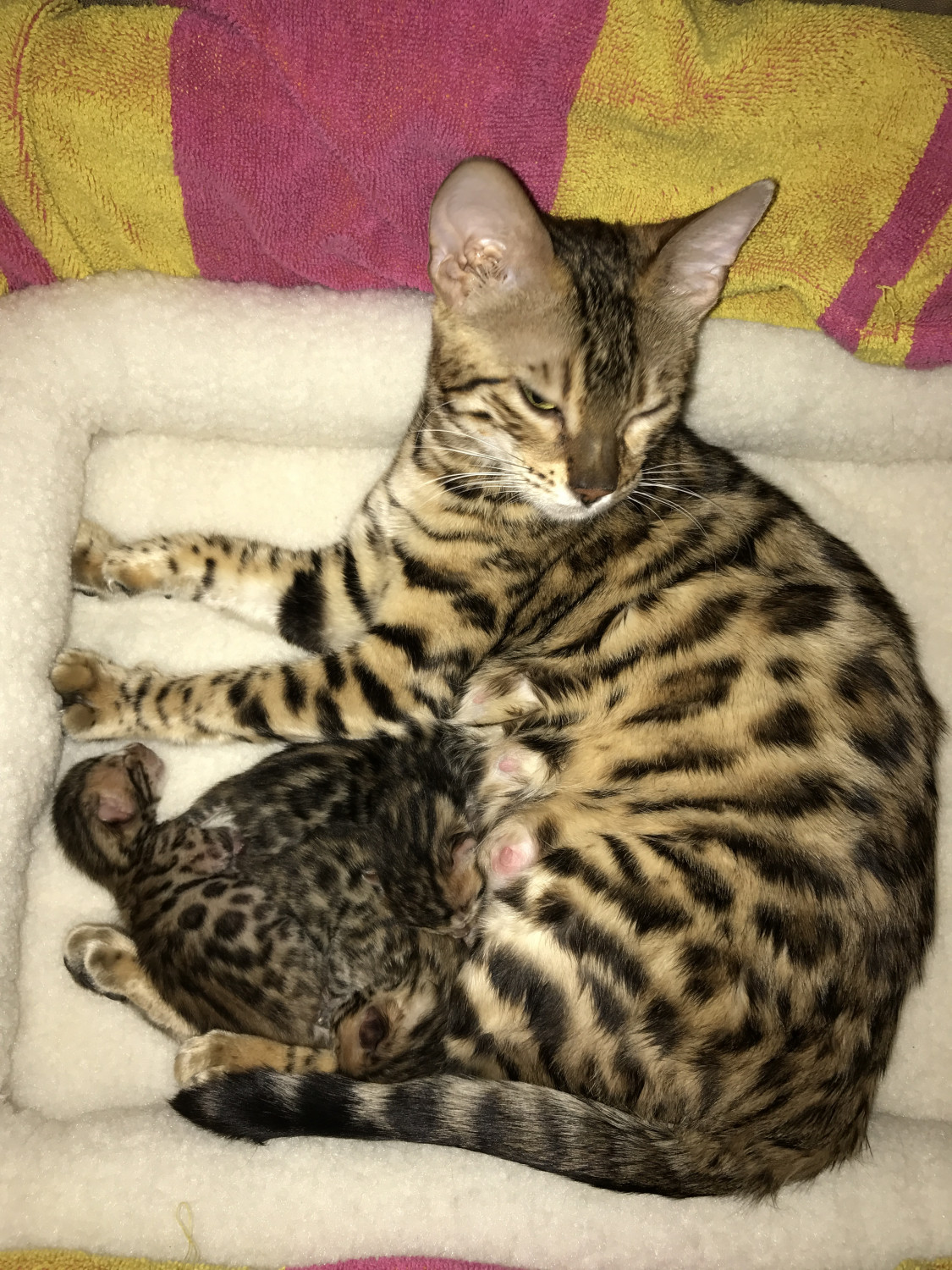 Bengal Cats For Sale Franklin Grove Il 210093