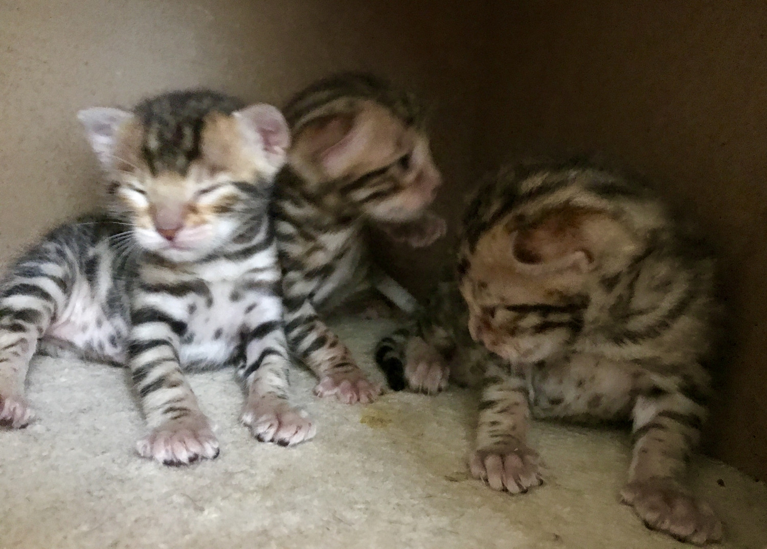 Bengal Cats For Sale | Franklin Grove, IL #210093